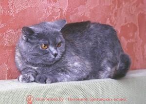 Британская кошка Afrodita Pruss (BRI g)