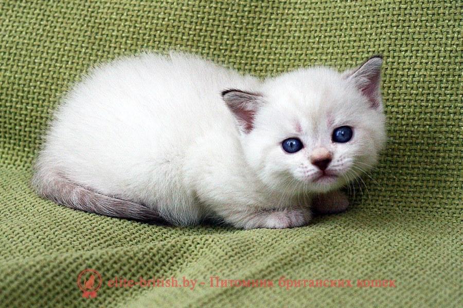 Британский котенок пойнт-окраса