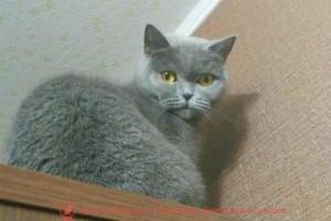 Британская кошка Эсси голубого окраса