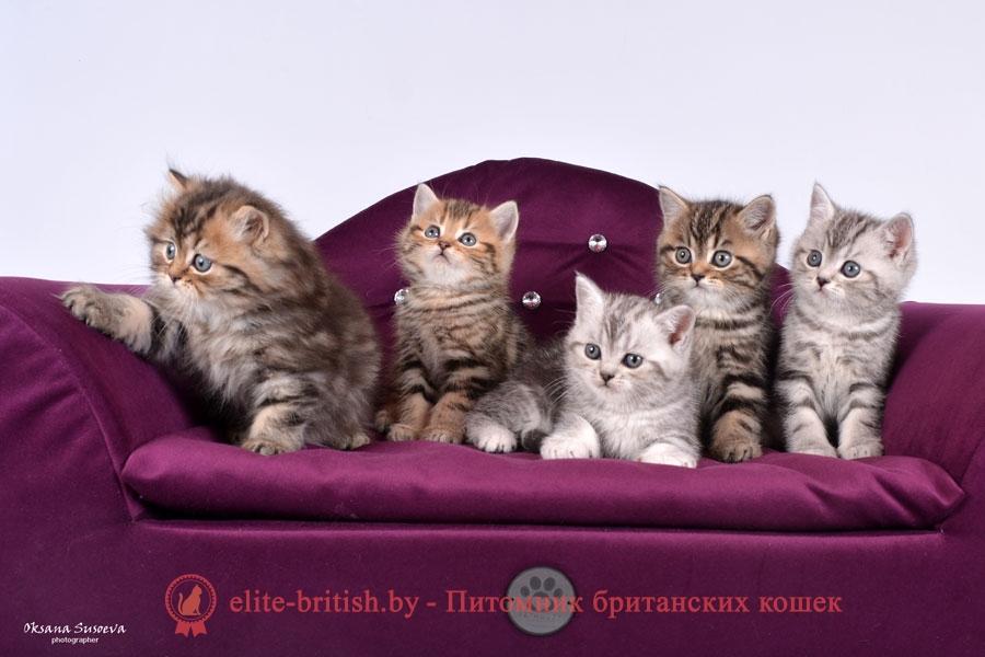 Элитные британские котята золотой и серебристый мрамор, помет от 07.02.2018