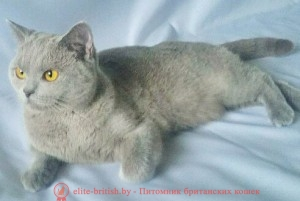 Британская кошка голубого окраса Cappuchino Grey Sharm*BY (BRI a)