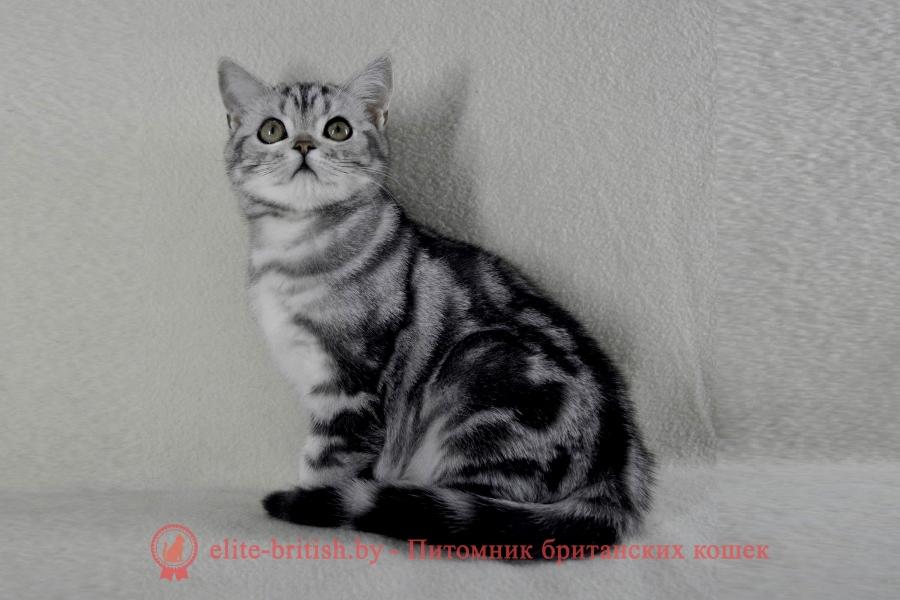 Британский котенок серебристого мраморногоокрасаGucci Irabell*BY (Гуччи)