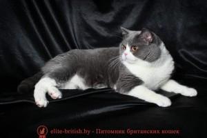 Британский кот голубой биколор CH. Iskander Niagara Gold (BRI a 03)