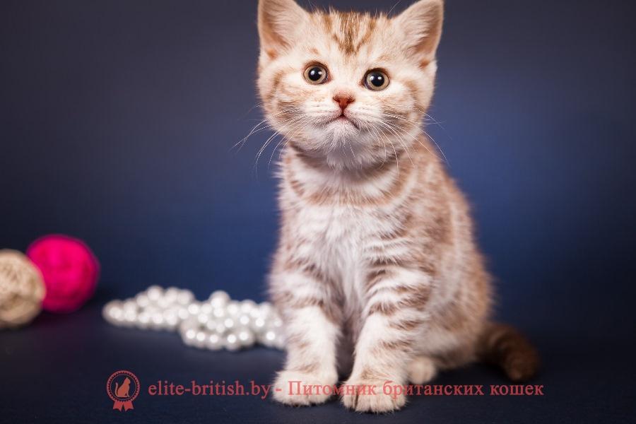 Британские котята шоколадная серебристая мраморная черепаха