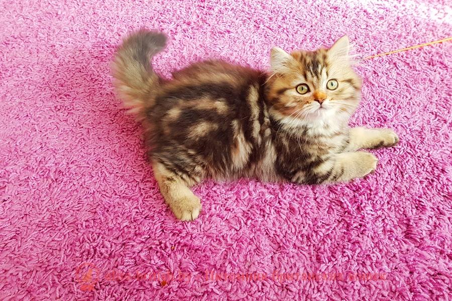 Британский котенок золотого мраморного окраса, длинношерстный, помет 7.02.2018