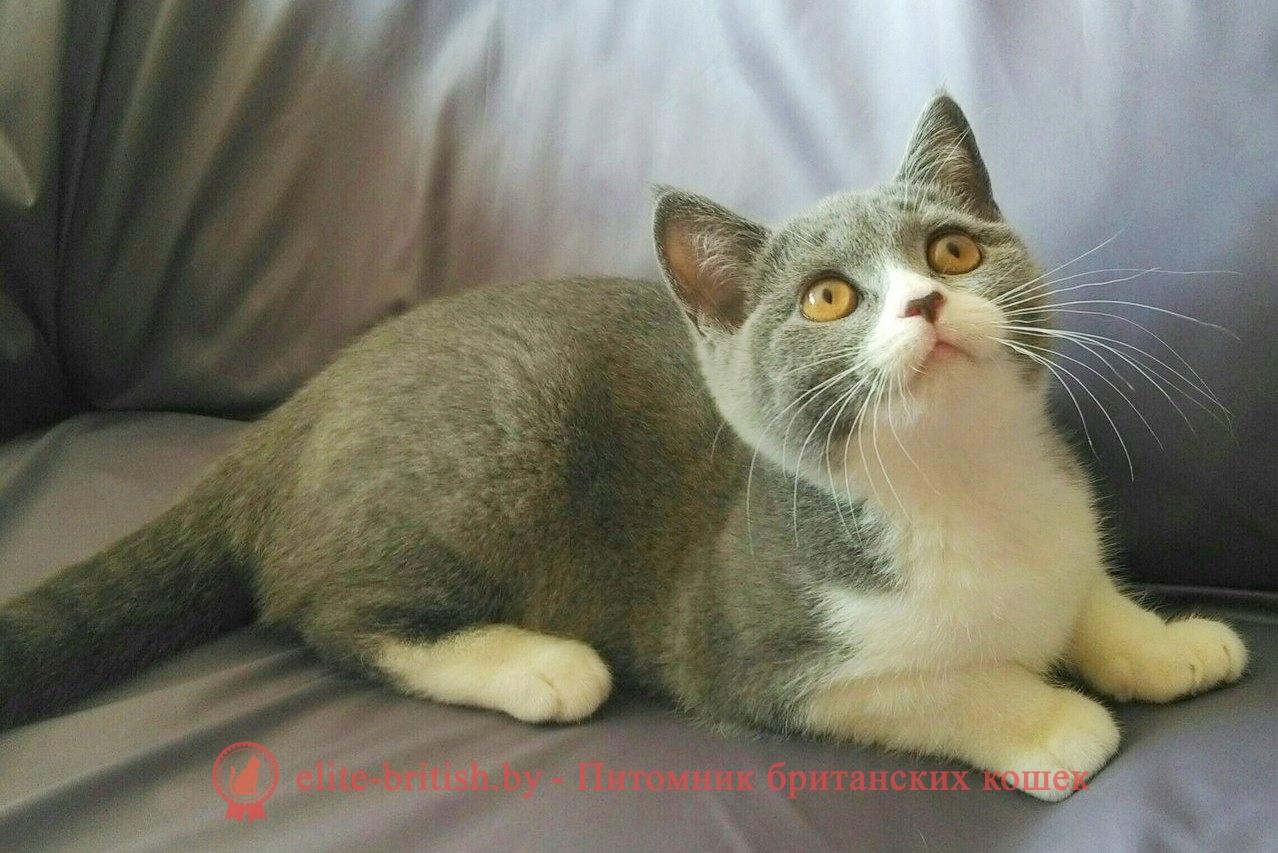 купить британского котенка, купить британца, британец голубой фото, голубые британцы фото, британский кошки голубой, британская голубая кошка, британская голубая кошка фото, британской голубой кошки фото, кот британский голубой, коты британские голубые, голубые британские котята фото, британский голубой котенок фото, британский голубой кот фото, фото британского голубого кота, окрас британских котят голубой фото, британские котята голубого окраса фото, британцы коты фото голубые, кот голубой британец фото, британский голубой котенок, британские голубые котята, британская голубая кошка фото цена, голубые британцы, голубой британец, британский голубой вислоухий кот, биколор британская кошка, кот британский биколор, британский котенок биколор, голубой биколор британец, биколор британец, британские котята биколор фото, британцы биколор фото