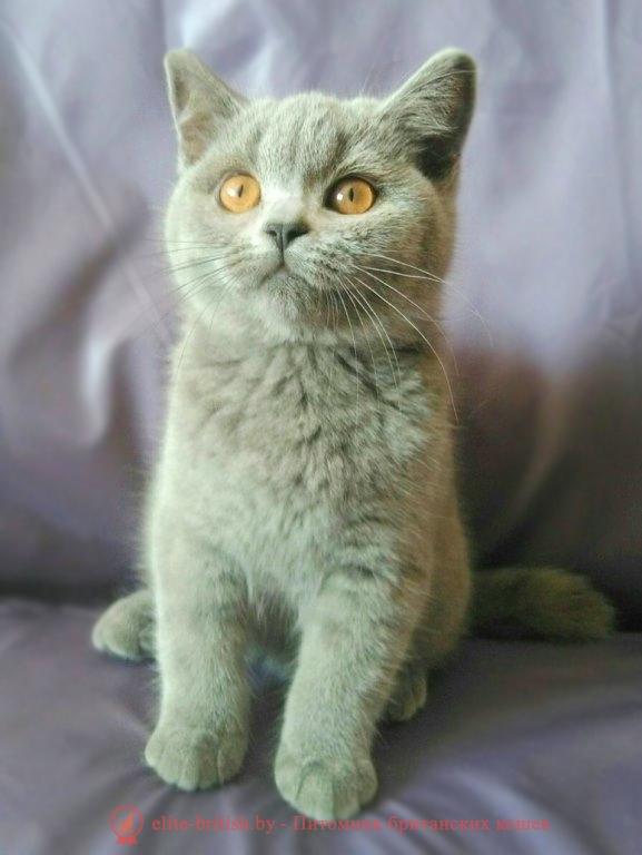 Британский котенокголубого биколорного окраса Аfrodita Sweet miracle (Афродита)