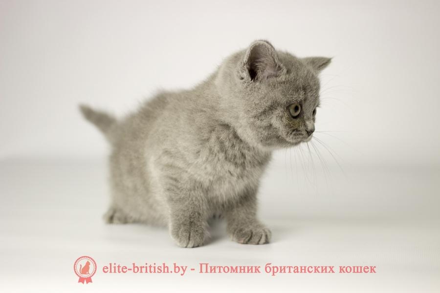 Британский котенокголубого окраса  Аfrodita Sweet miracle (Афродита)