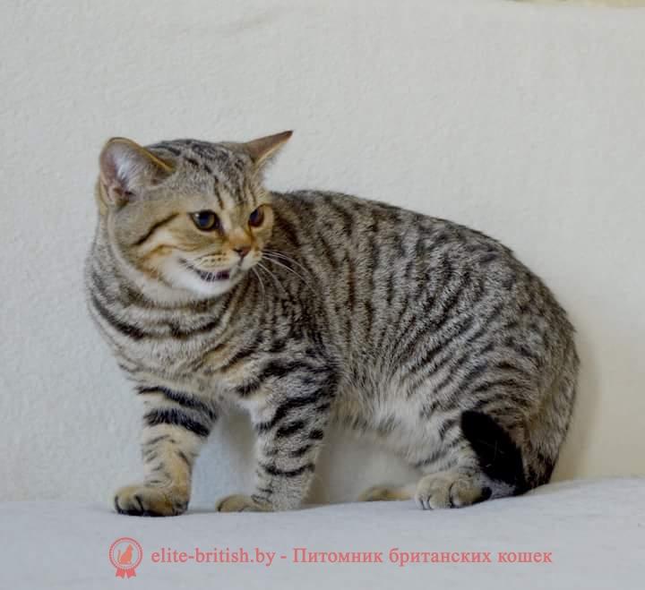 Британский котенок леопардового окраса Эдди