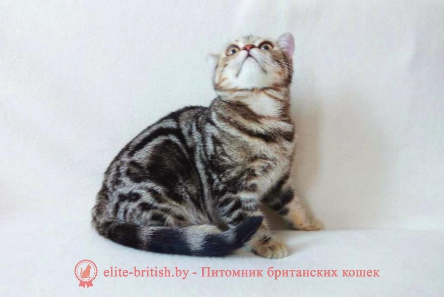 Британский котенок золотого мраморного окраса Ella