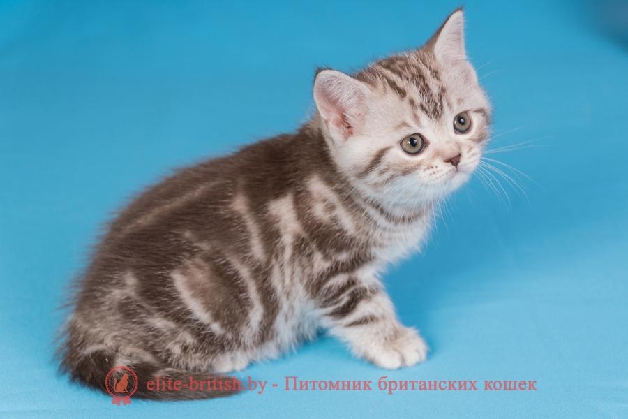 Британский котенок шоколадный серебристый мраморный (BRI bs 22), помет от 03.01.2018