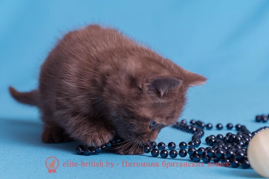 Британский котенок шоколадного окраса, помет от 03.01.2018