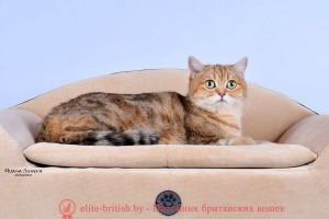 Британская кошка золотого мраморного окраса Ornella Olimpia Marble (BRI ny 22 64