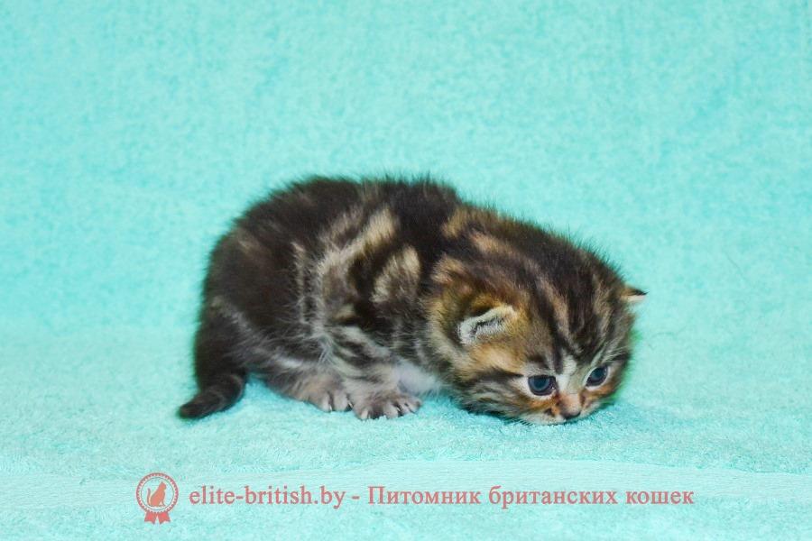 Британский котенок черный золотой мраморный