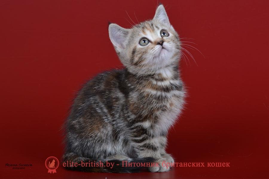 Британский котенок черного черепахового мраморного окраса Franchesca (Франческа)