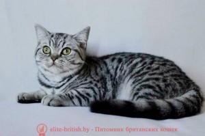 Британская кошка Ulya IrabellBY