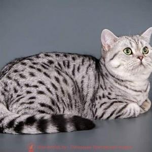 Британский кот Zefir Irabell BY (BRI ns 24 64)
