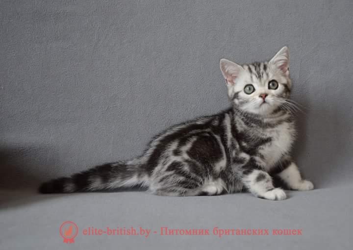 купить британского котенка, купить британца, британский кот серебристый, серебристый британец фото, серебристые британцы, британские серебристые котята, тикированный британец, серебристый тикированный британец, кошки британские серебристые, британская короткошерстная окраса серебро, британцы окраса вискас, британцы вискас фото, котенок британец вискас, британец вискасного окраса, британская кошка вискас, окрас вискас британских кошек, британская кошка фото вискас, британская кошка окрас вискас фото, британские котята вискас купить, британские котята цвета вискас, вислоухий британец вискас, британец окрас вискас фото, британский кот вискас, британский котенок вискас, британские котята окрас вискас купить, британец вискас купить, британец кот вискас, вискасный британец, коты британцы вискас фото, британцы цвета вискас, , британская пятнистая кошка, кот британский пятнистый
