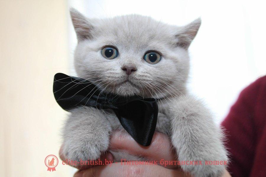 Лиловый британский котенок Оникс