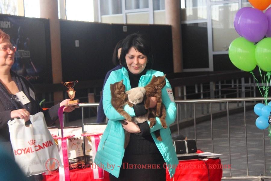 Британские котята на выставке лилового и шоколадного окраса, лучший помет выставки
