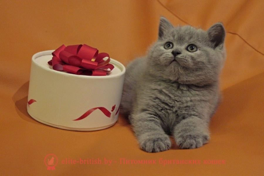 купить британского котенка, купить британца, британец голубой фото, голубые британцы фото, британский кошки голубой, британская голубая кошка, британская голубая кошка фото, британской голубой кошки фото, кот британский голубой, коты британские голубые, голубые британские котята фото, британский голубой котенок фото, британский голубой кот фото, фото британского голубого кота, окрас британских котят голубой фото, британские котята голубого окраса фото, британцы коты фото голубые, кот голубой британец фото, британский голубой котенок, британские голубые котята, британская голубая кошка фото цена, голубые британцы, голубой британец, британский голубой вислоухий кот
