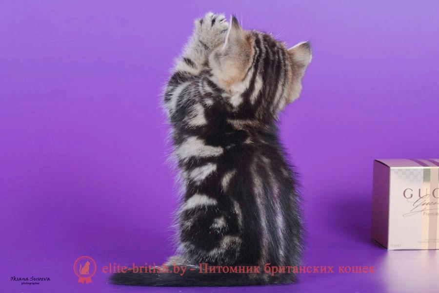 Британский котенок мраморного окраса Marchello, помет 7.02.2018