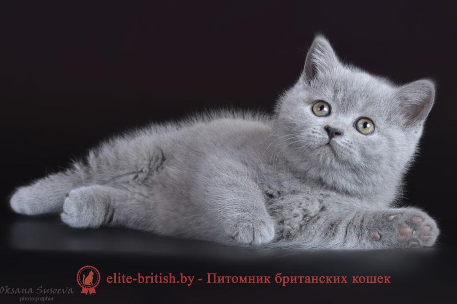 Британский котенок Сфинкс, голубого окраса, помет от 24.01.2018