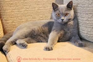 Британская кошка Y-Beatrice MK (BRI a)