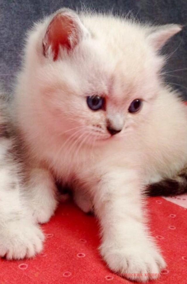 """Британские котята питомника Elite British, помет """"L"""" от 29.03.2018"""