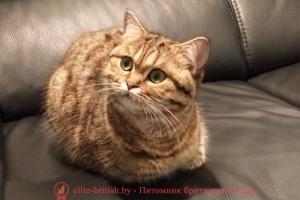Британская кошка золотого леопардового (пятнистого) окраса Грейс Элит Бритиш