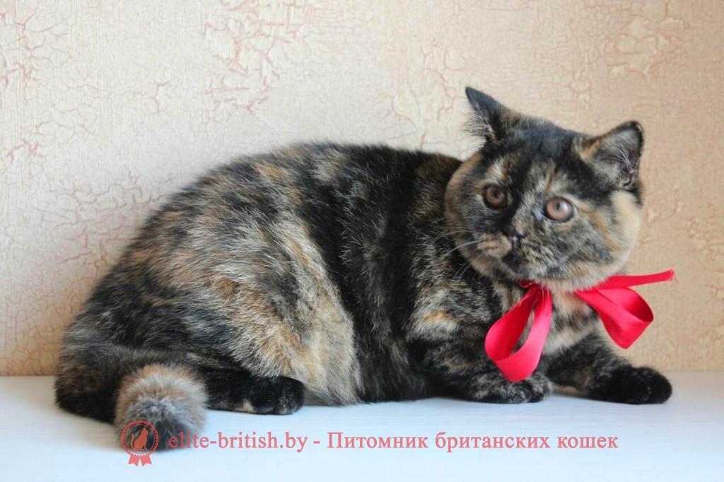 Британский котенок черного черепахового окраса Тайра