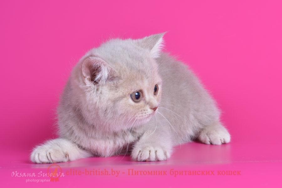 Британский котенок лилового пятнистого окраса