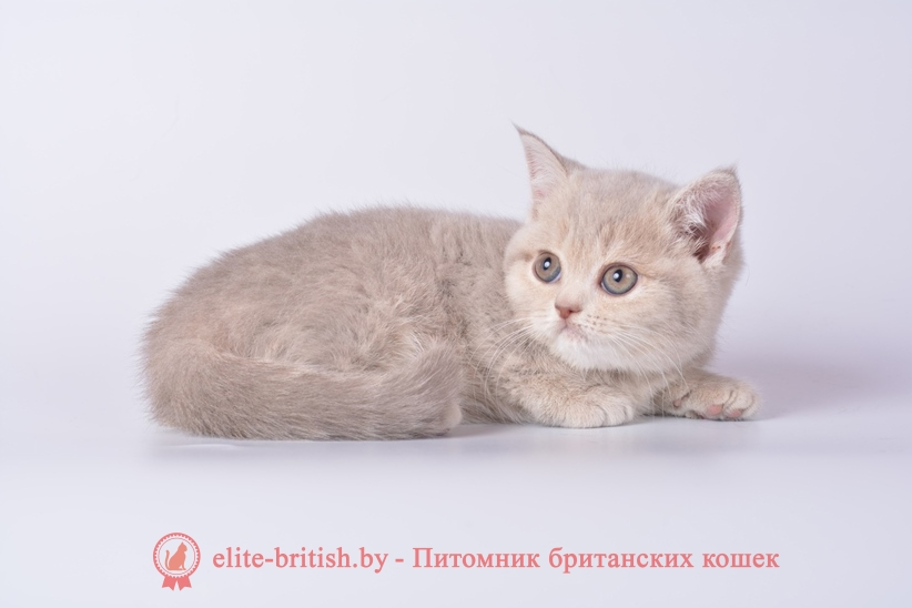 Британские котята, девочки лилового пятнистого и мраморного окраса