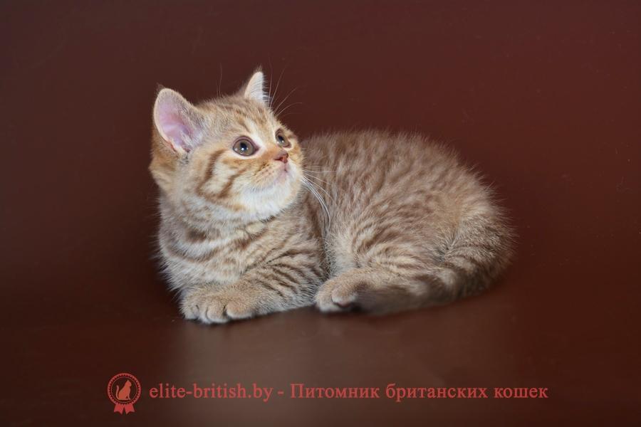 Британский котенок шоколадного пятнистого окраса