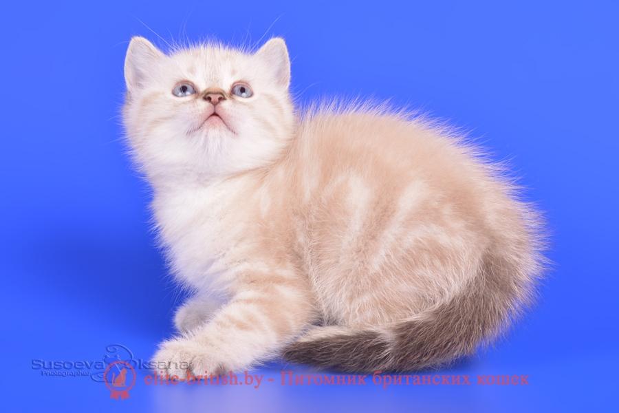 """Британские котята питомника Elite British, окрас серебристый черный пойнт с голубыми глазами, помет """"L"""" от 29.03.2018"""