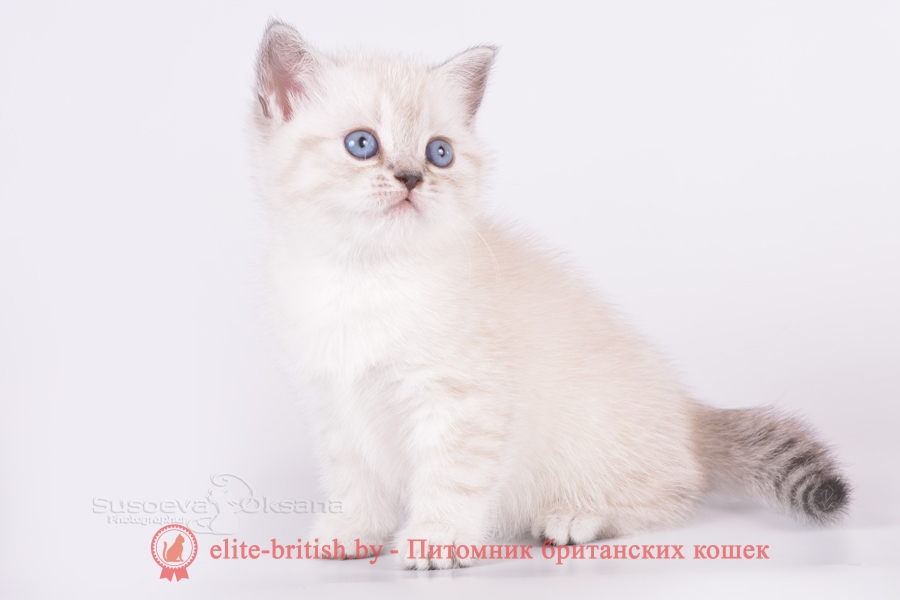 Британский котенок черный табби пойнт с голубыми глазами Lizy