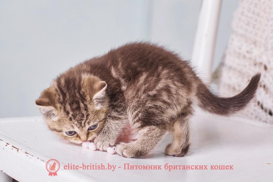 "Британские котята шоколадного однотонного и мраморного окраса, помет ""М"" от 06.04.2018г"