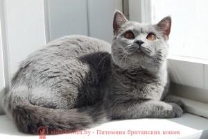 Британская кошка голубого окраса LA MURR*CAT`S NEYDLIN