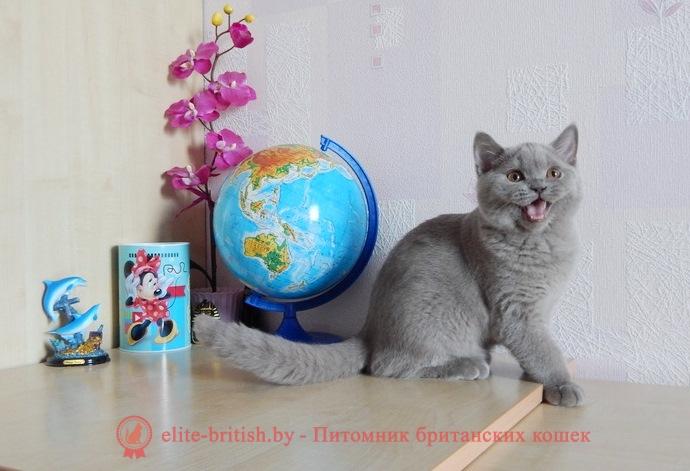 Британский котеноклилового окрасаQuartz