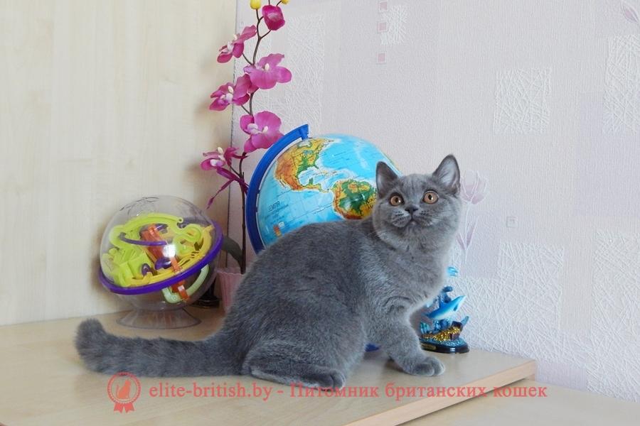 Британский котенокголубого окрасаQuirina