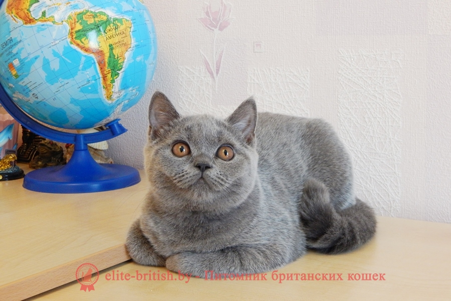 Британский котенокголубого окрасаQuеIIe