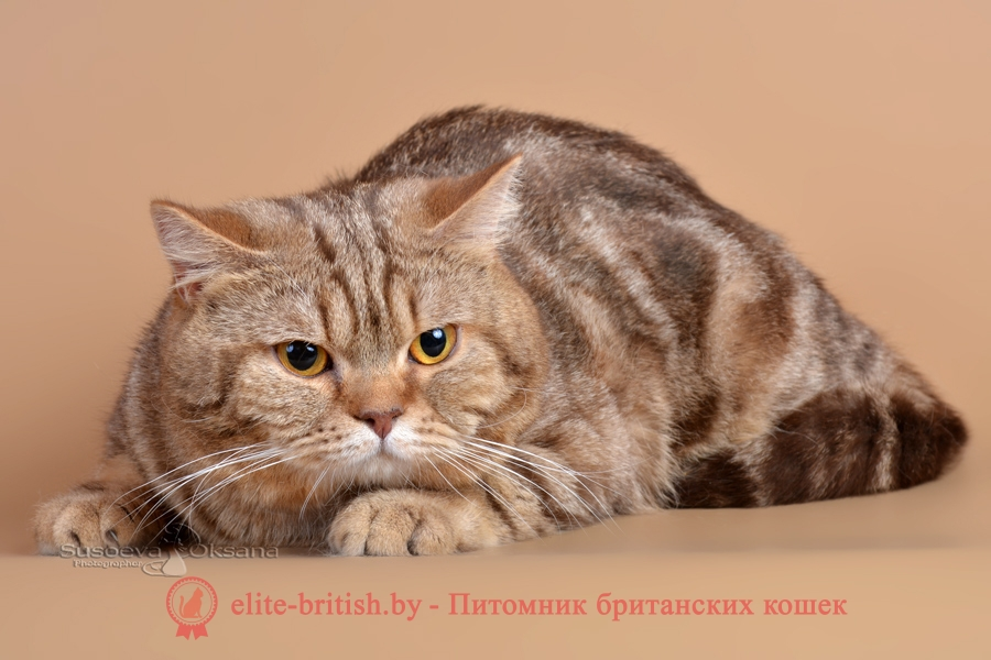 Вязка британского кота шоколадного мраморного CH. RAIDON АIRIS
