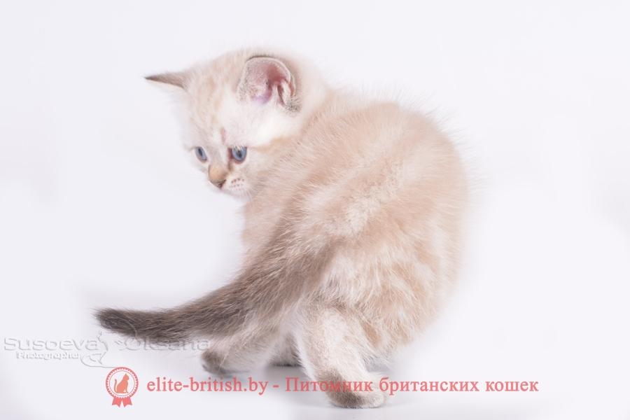 Британский котенок черный табби пойнт с голубыми глазами Luori