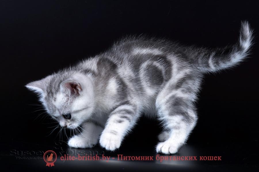 Британский котенок черный мрамор на серебре с зелеными глазами Largo