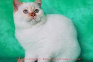 CH. Teodosiya from Romanoff Yad Cats (BRI ds 33)