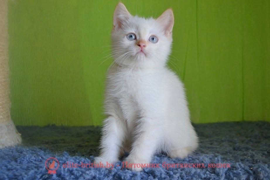 Британский котенок  красный табби пойнт с голубыми глазами Ниссан от 22.04.2018г