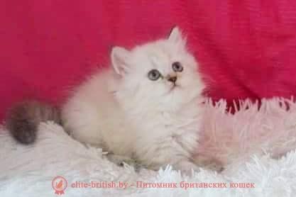 Британский котенок серебристый длинношерстный пойнт с голубыми глазами Наоми от 22.04.2018г