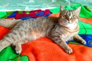 Британская кошка Chelsy Kis (BRI n 24)