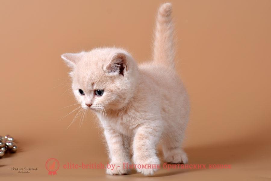 Британские котята помет от 20.05.2018, окрасы кремовые, биколор, триколор