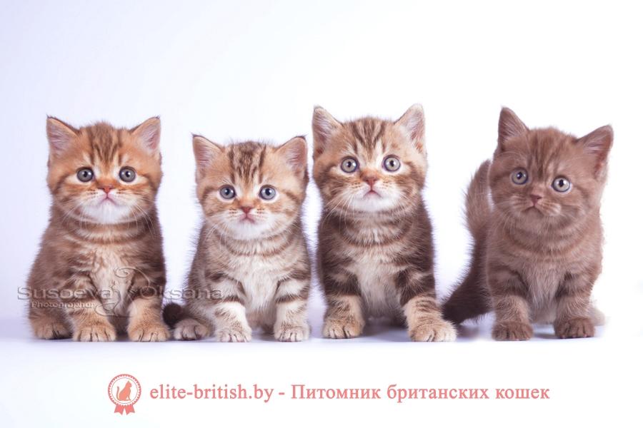 Британские котята помет от 26.05.2018, окрасы шоколад, мрамор
